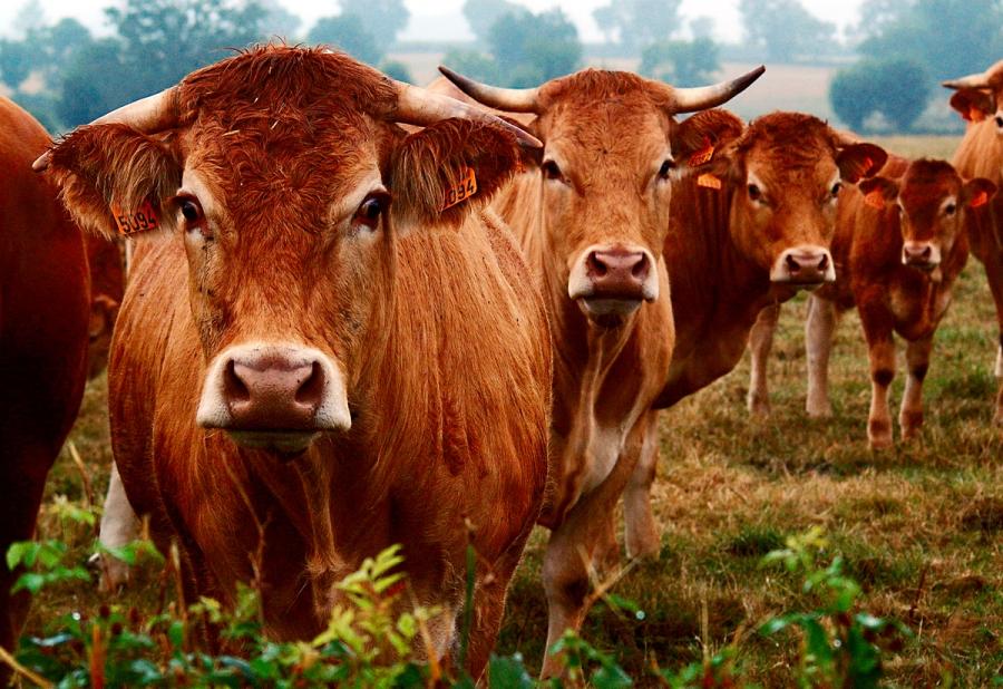 cattle_2964jul30_2