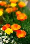 californian_poppies_0075