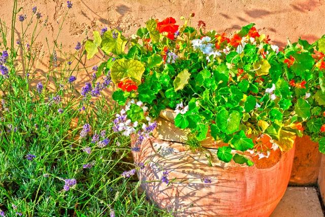 nasturtiums_lavender22jul_0019