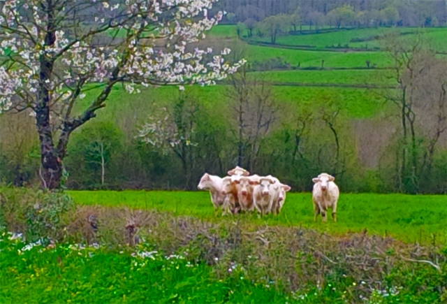 cattle_blossom_161436