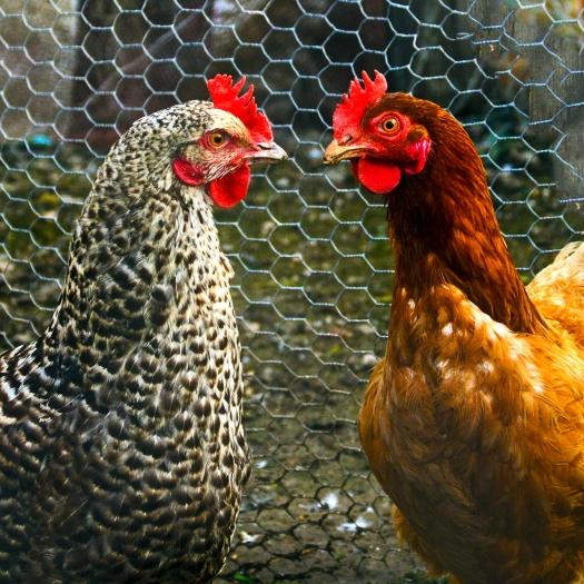 chickens_crop__0008