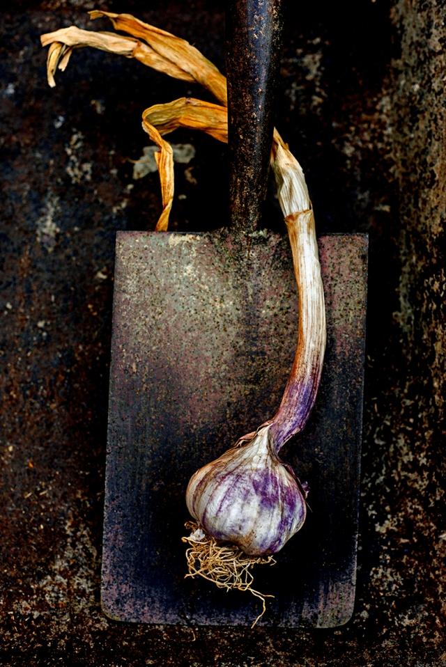 garlic_on_spade_0011