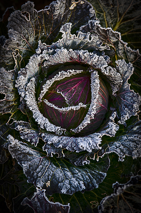 cabbage_frost
