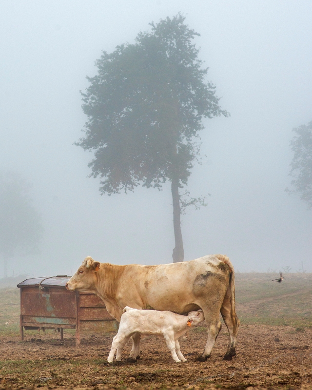 cattle_mist_crop3_0027